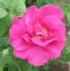 janewilliams20: Rose (rose, garden)