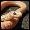 nkyinkyin: photo of an albino garter snake. ([3] niskiema; ideas made real)
