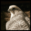 nkyinkyin: photo of a falcon from behind, with head turned toward the camera. ([5] old man falcon)