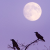 witchinthewoods: (moon ravens)