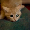 recessional: a small orange kitten looks very startled and has no irises (personal; omgwtfbbq)