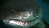 kashura: (акула)