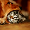 nowitnesses: a dog with a rather smaller cat's head in its mouth (WHEN SHALL WE...TWO...MEET AGAIN?)