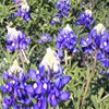 anne: (bluebonnets)