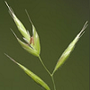 gramina: Photo of a stalk of grass; Gramina references the graminae, the grasses (Default)