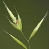 gramina: Photo of a stalk of grass; Gramina references the graminae, the grasses (Default)
