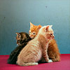 revolutions: Three kittens sitting together. (itty bitty kitty committee)