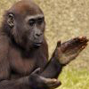 kellzilla: picture of a chimpanzee mid-clap ([other] clapping)