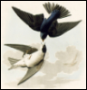decemberthirty: (tree swallow)