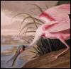 decemberthirty: (audubon spoonbill)