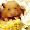 frigg: Happy hamster nesting in a pile of TP and noming on corn (Nom nom)