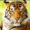 bashfulshifter: ((tiger) nonplussed)