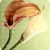 amadi: A stylized photo of two calla lily flowers (Menorah)