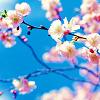 nmsakura: (cherry blossom) (Default)