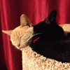 lizcommotion: Lily and Chance squished in a cat pile-up on top of a cat tree (buff tabby, black cat with red collar) (cat stare)