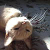 lizcommotion: Lily (buff tabby) asking for belly rubs on an oriental rug in a sunbeam, whiskers in happy face pose. Head upside down. (cat lily basking icon)