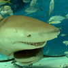 lemonsharks: Two sharks (Default)
