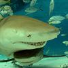 lemonsharks: underwater photo of two lemonsharks and several bony fish (life in the shark lane)