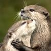 omens: otters hugging (otterhugs)