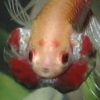 icelightning: XXY male bettafish, started off looking girlish (betta girl raphaella objects, angry fish RAWR, Betta BOY Raphael) (Default)