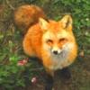 levade: (FOX)