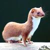 mustela_nivalis: It is a least weasel. (weasel)