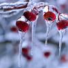 winterlover: frozen berries (winter icon 08)