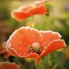kore: (poppies)