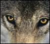 almalthia: (Wolf)