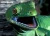 snowywolfowl: (gecko)