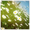 petronia: (daisies)