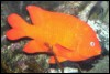 tim: A bright orange fish. (snorkeling, garibaldi, fish)