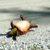 yourdeer: (dead turtle)