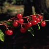 delphi: A photograph of bitter cherries. (bitter cherry)