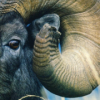 seasnakes: closeup of the side of a ram's face and one curly horn (ram)
