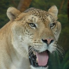 death_gone_mad: Vulcan the Liger (Liger LOL)