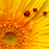 syntaxofthings: A ladybug perched on a huge yellow flower. ([flower] Ladybug on flower)