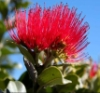 morbane: pohutukawa blossom and leaves (0)