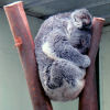 kiwisue: sleeping koala in the fork of a gumtree stump (koala)