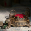 kaberett: Clyde the tortoise from Elementary, crawling across a map, with a red tape cross on his back. (elementary-emergency-clyde)
