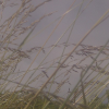 mirrorshard: Grass stalks against a summer sky (Summer grass)