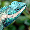 argurotoxos: a lizard with striking blue and white marks (lizard)