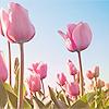 fenwench: (Tulips)