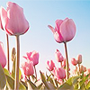 heroides: (Tulips)