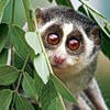 lazy_natalia: (lemur big eyes)