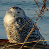 tb: (owl)