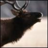 electrohead: bull stag male elk call bugle profile (Hue Paee)