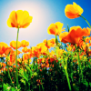 azurelunatic: California poppies, with a bright blue sky and the sun. (poppies)