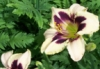 kul_breez: white and purp flower (Default)
