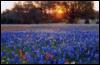 violetrose1922: (bluebonnets)